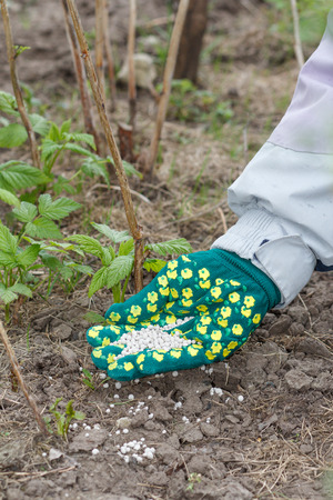 Farmer hand dressed in a glove giving chemical fertilizer to soil next to the raspberry bushes in the garden. Spring garden care Stock Photo