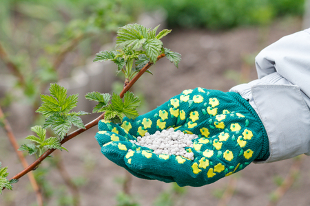 Farmer hand dressed in a glove holding chemical fertilizer next to the raspberry bushes in the garden. Spring garden care. Stock Photo