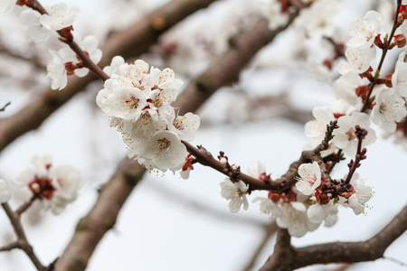 Branch of apricot tree in the period of spring flowering on blurred blue sky background. Selective focus Stock Photo