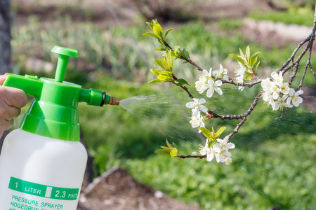 Farmer is sprinkling water solution on branches of pump tree with white flowers. Protecting fruit trees from fungal disease or vermin in spring. Selective focus on pressure sprayer