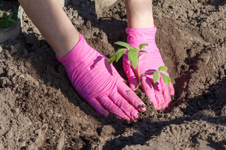 Close up hands of female gardener is planting tomato seedlings in the soil of the garden. Cultivation of vegetables