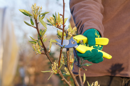 Female farmer look after the garden. Spring pruning of fruit tree. Woman with pruner shears the tips of pear tree. Garden tool