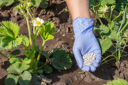 Farmer hand in rubber glove giving chemical fertilizer to young bushes of strawberries during their flowering period in the garden