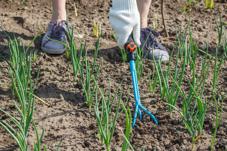 Female farmer in gloves is loosening soil around green onions using small hand garden rake 版權商用圖片