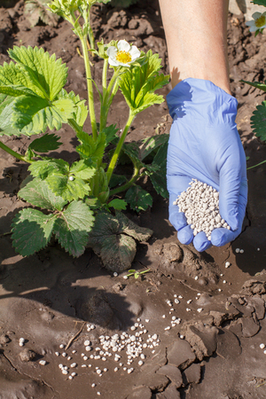 Female hand in rubber glove giving chemical fertilizer to young bushes of strawberries during their flowering period in the garden Stock fotó