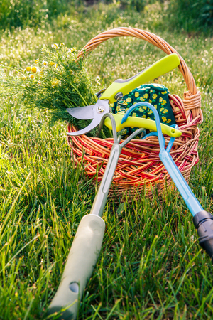 Two hand garden rakes, pruner, gloves and bouquet of field chamomiles in wicker basket with green grass on the background. Garden tools