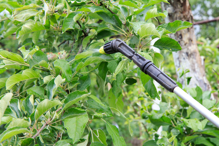 Protecting young apple tree and ripening fruits from fungal disease or vermin with pressure sprayer in spring and summer time