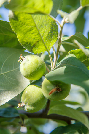 Green fruits of immature apples on the branch of tree. Shallow depth of field. Fruit growing in the garden