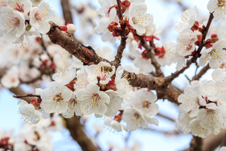 Branch of apricot tree in the period of spring flowering on blurred blue sky background. Shallow depth of field. Selective focus on flowers.