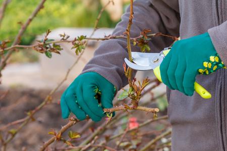Une agricultrice s'occupe du jardin. Taille de printemps des rosiers. Femme avec sécateur cisaille les pointes de rosier.