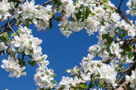 Branches of apple tree in the period of spring flowering with blue sky in the shape of a heart on the background. Selective focus on flowers. Stock Photo