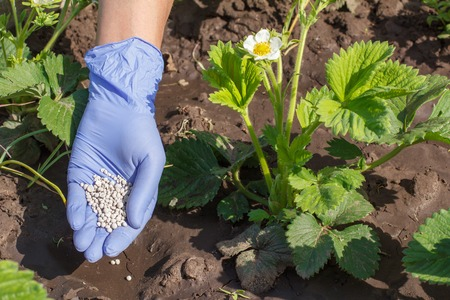 Farmer hand in rubber glove giving chemical fertilizer to young bushes of strawberries during their flowering period in the garden.