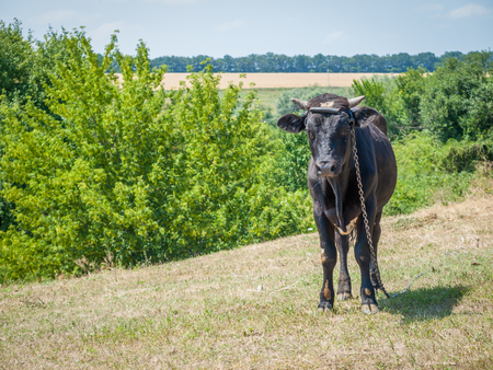 Young black bull tied with an iron chain in rural landscape on the background. Breeding cattle.