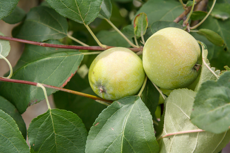 Branch of apple tree with green unripe fruits in the orchard.