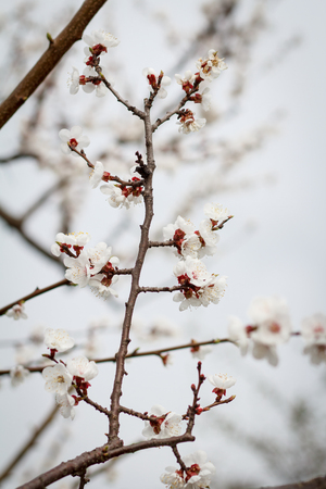 Branch of apricot tree in the period of spring flowering on blurred