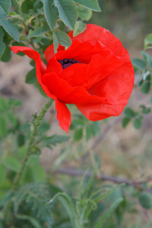 Red poppy in the summer garden. Close-up of the flower with blurred plants