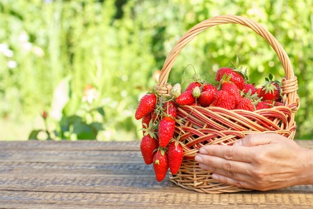 Full basket with just picked fresh red ripe strawberries and female hand holding them with green natural Imagens