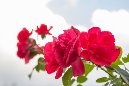 Rose bush with red flowers in the garden with blue sky and white clouds on the background. Shallow depth of field. 免版税图像