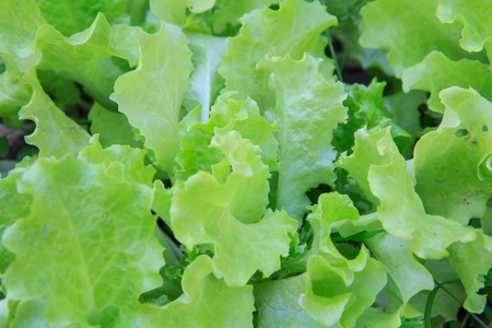 Green fresh salad growing in a garden. Top view.