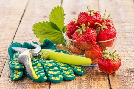 Red ripe strawberries in glass bowl and garden pruner with gloves on old wooden boards in daylight.