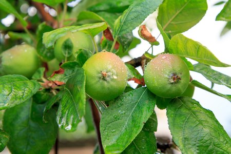 Fruits of immature apples on the branch of tree with leaves affected by fungal disease. Shallow depth of field. Fruit growing in the garden.