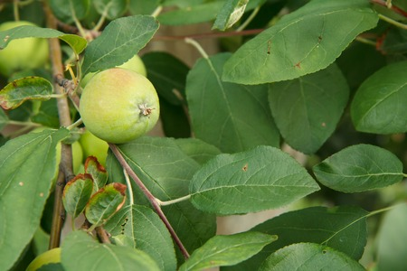 Fruits of immature apple on the branch of tree with leaves. Fruits growing in the garden.