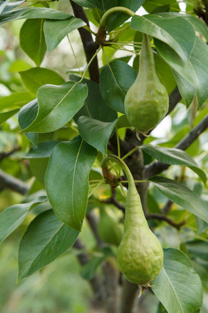 Fruits of immature pears on the branch of tree with leaves. Fruit growing in the garden.