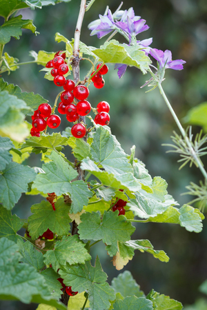 Red currant on bush in garden in summer day with blurred natural background. Stock Photo