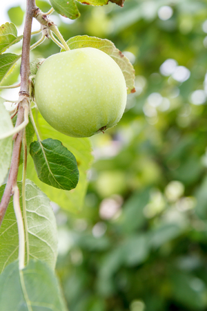 Green immature apple on a branch of the tree in the garden in summer day with natural blurred background. Shallow depth of field. Focus on apple.