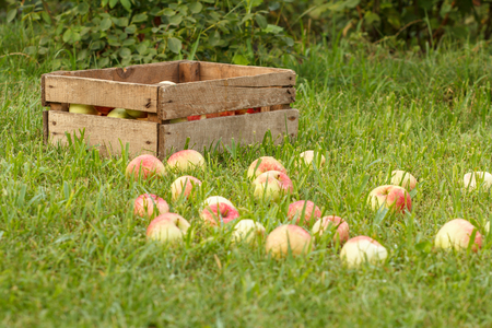 Old wooden box and red apples on green grass in the orchard. Fallen ripe apples in the summer garden. Fruit harvesting. Shallow depth of field.