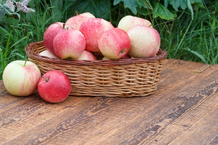Just picked apples in a wicker basket on wooden boards with green garden on the background. Just harvested fruits.