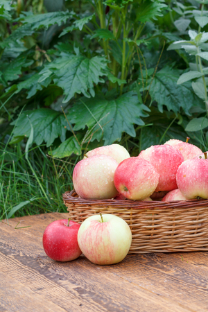 Just picked apples in a wicker basket on wooden boards with green garden plants on the background. Just harvested fruits. Stock Photo