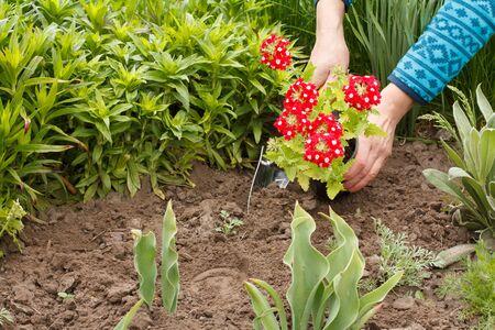 Gardener is planting red verbena in the ground in a garden bed using trowel.