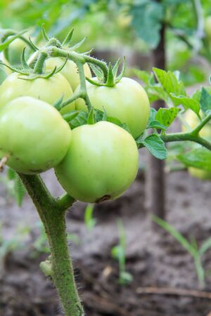 Unripe green tomatoes growing on the garden bed. Tomatoes in the greenhouse with the green fruits. The green tomatoes on a branch. Stock Photo