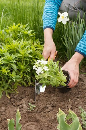 Gardener is planting white flowers in the ground in a garden bed using trowel.
