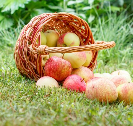 Red apples in a wicker basket and on green grass in the orchard. Fresh ripe apples with water drops in the summer garden. Concept of nature organic fruits and healthy food. Shallow depth of field