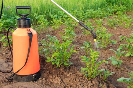 Gardener is protecting potatoe plants from fungal disease or vermin with pressure sprayer on the garden bed.