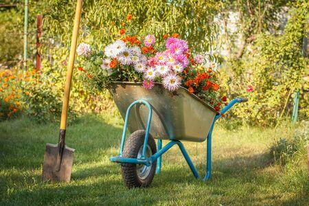 Evening after work in summer garden. Wheelbarrow with cut flowers and spade on green grass. Reklamní fotografie