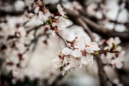 Branch of apricot tree in the period of spring flowering with blurred background. Selective focus.