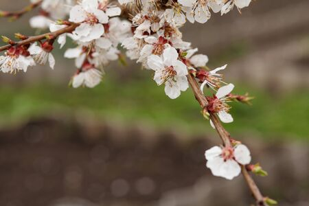 Branch of apricot tree in the period of spring flowering with blurred garden on the background. Shallow depth of field. Selective focus on flowers.