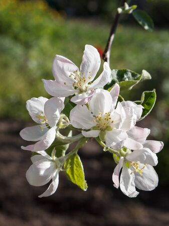 Branch of blooming apple tree in a spring orchard with blurred natural background.