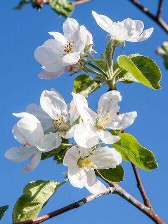 Branches of apple tree in the period of spring flowering with blue sky on the background. Selective focus on flowers.