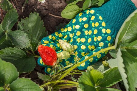 Gardener is holding ripe and unripe strawberries growing on bush in the garden.