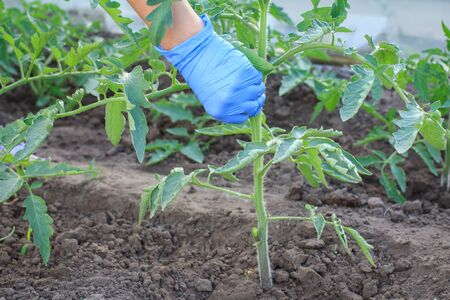 Female gardener in latex gloves taking care of young tomato bushes in greenhouse.
