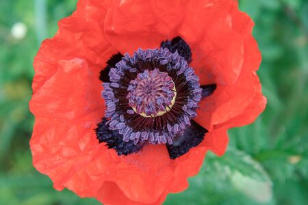 Close-up of blooming red poppy flower in the garden. Top view of poppy with green natural background.