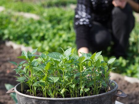 Young seedlings of bell pepper germinated from seeds in old metal bowl with farmer on the background. Shallow depth of field. Cultivation of bell peppers.