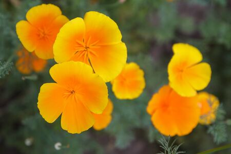 Yellow flowers with green leaves on blurred natural background. Shallow depth of field. Top view. Zdjęcie Seryjne