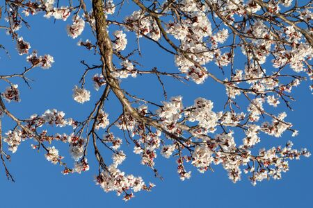 Branches of apricot tree in the period of spring flowering with blue sky on the background.