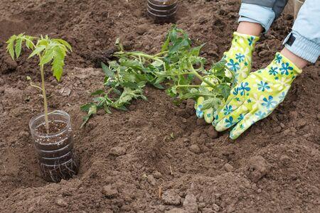 Hands of female gardener in gloves planting tomato seedling in the soil of the garden. Cultivation of vegetables.