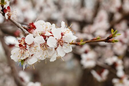 Branch of apricot tree in the period of spring flowering with blurred background. Shallow depth of field. Selective focus on flowers. Stock fotó